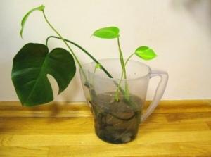 Гостья из тропиков — монстера: характеристика растения, правила ухода и выращивания в домашних условиях