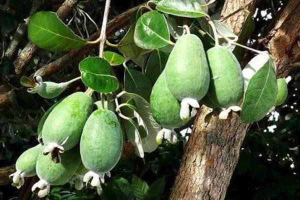 Субтропическое растение — фейхоа. Описание и фото, выращивание в домашних условиях и размножение