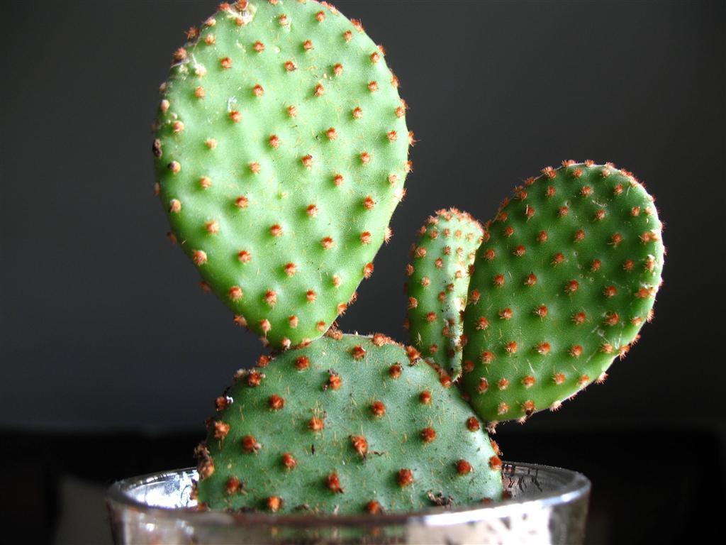 Самый живучий кактус — опунция: описание, правила ухода и размножения в домашних условиях