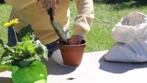 Подходящий горшок и лучший грунт для герберы. Как пересадить растение правильно?