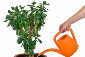 Увлажнение толстянок: как правильно поливать растения в домашних условиях?