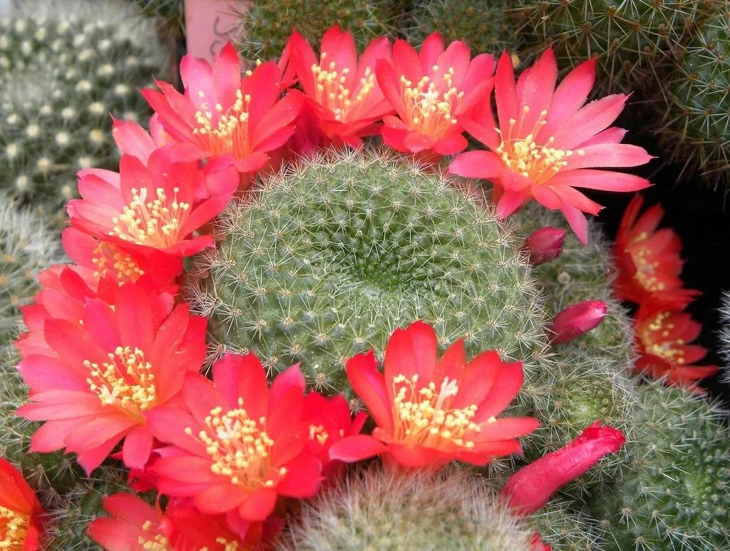 Шаровидный кактус — ребуция: описание, уход, размножение, виды