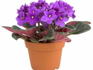Комнатная фиалка: описание, уход в домашних условиях, правила пересадки. Как стимулировать цветение?