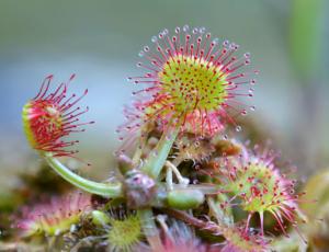 Хищная росянка: характеристика, уход и виды растения