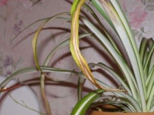 Проблемы с листьями у хлорофитума: почему сохнут кончики и возникают иные проблемы, как устранить причины?