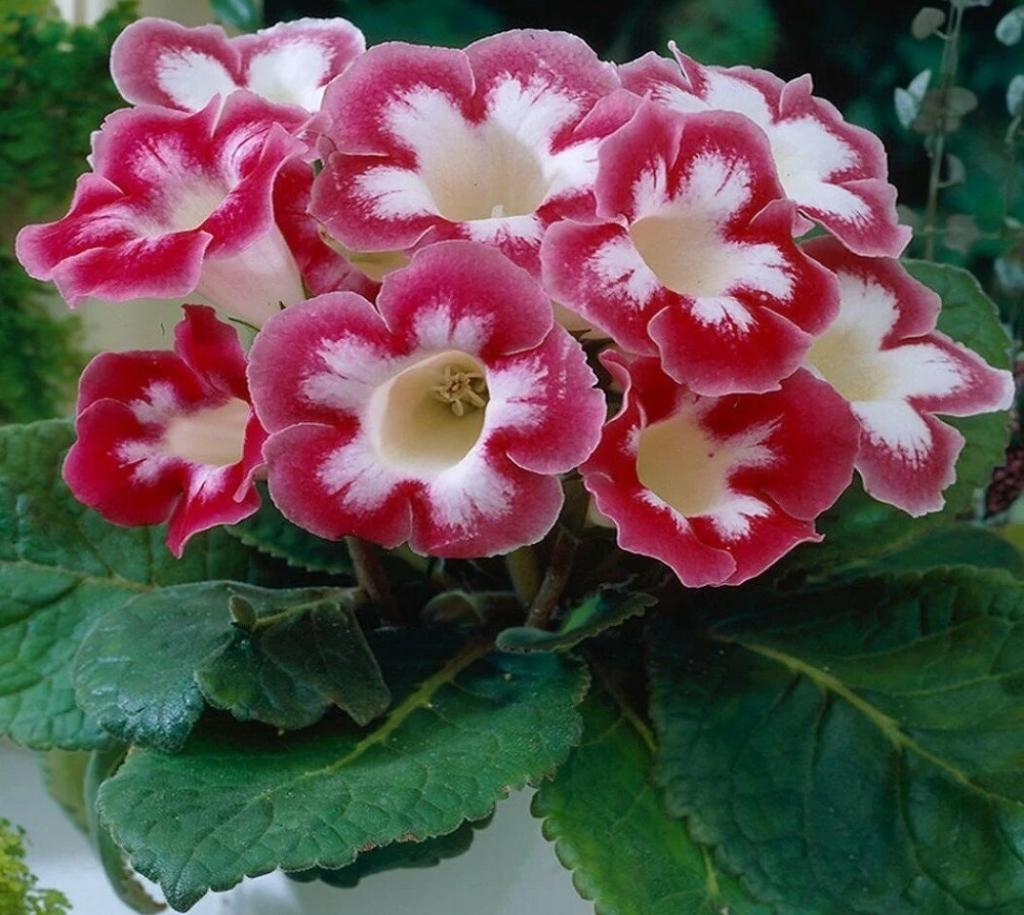 Многообразие цветов-колокольчиков рода Глоксиния. Секреты выращивания и ухода в домашних условиях
