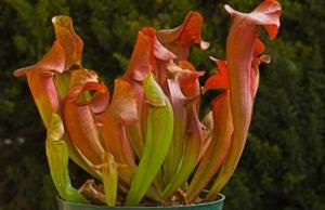 Хищные растения рода Саррацения: уход в домашних условиях, способы размножения, виды