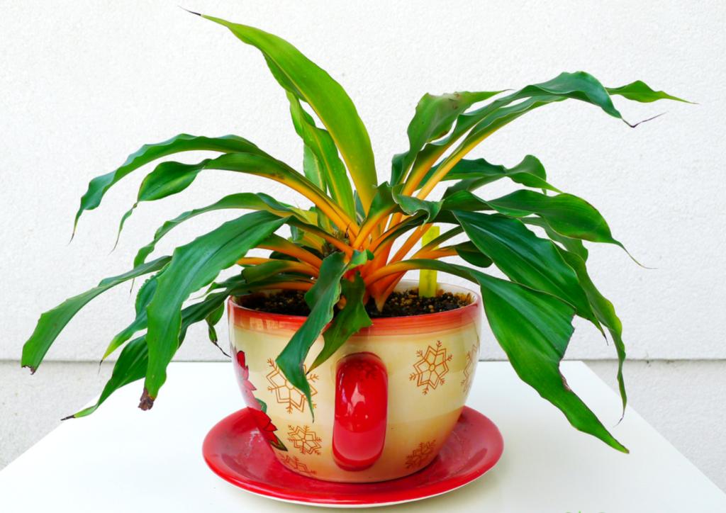 Оригинальный оранжевый хлорофитум: характеристика и правила ухода в домашних условиях