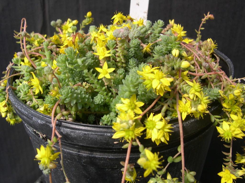 Неприхотливые растения рода Седум: выращивание в домашних условиях, виды и сорта