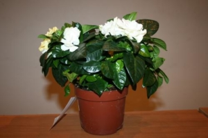 Экзотичная гардения жасминовидная: описание цветка и правила ухода за ним в домашних условиях