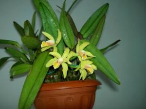Великолепные орхидеи рода Каттлея: описание, фото, популярные сорта, уход за цветком в домашних условиях