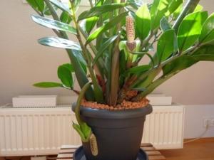 Эффектный замиокулькас: описание, виды, особенности выращивания в домашних условиях