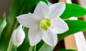 Амазонская лилия — эухарис. Виды с фото, правила ухода и размножения в домашних условиях