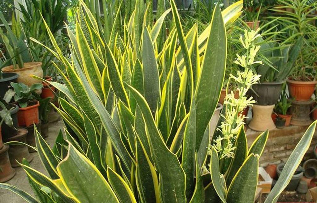 Щучий хвост или сансевиерия — вечнозеленый экзот. Как ухаживать за неприхотливым растением?