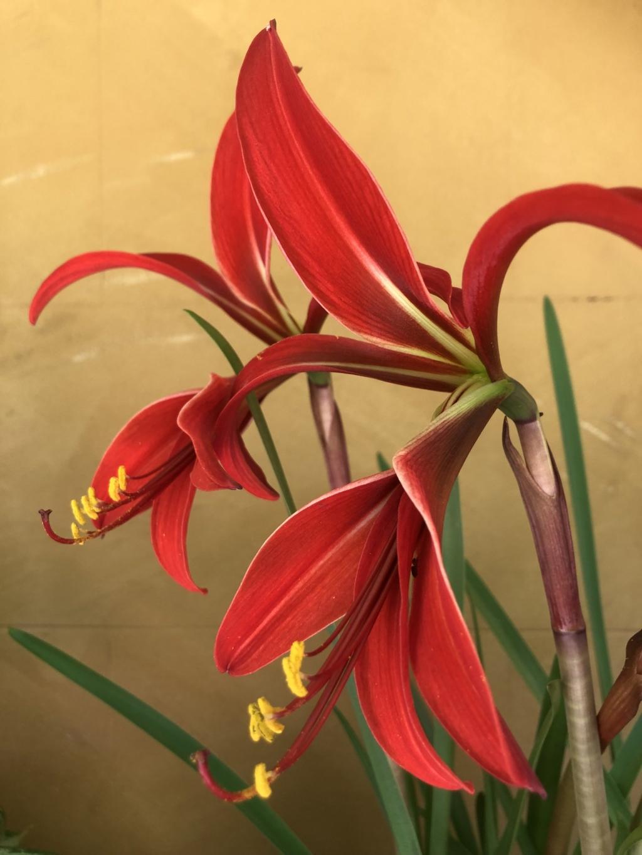 Экзотическая красавица — шпрекелия. Нюансы выращивания, ухода и размножения